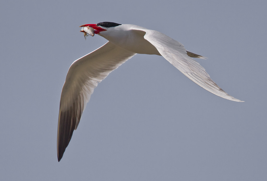 Photograph A Caspian Tern Catch by Duke Coonrad on 500px