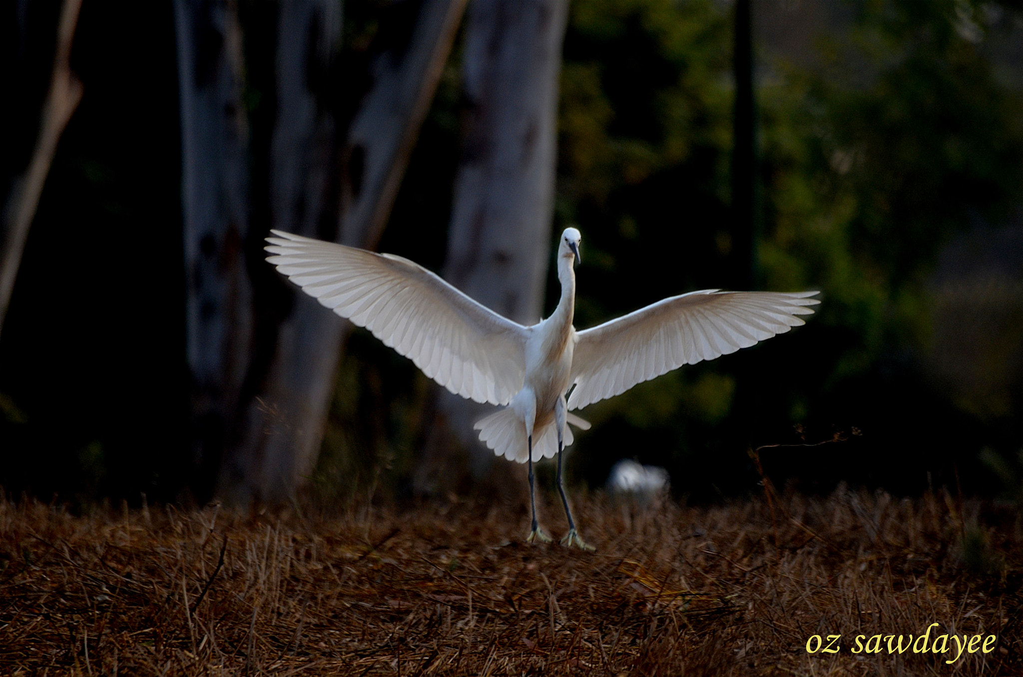 Photograph Little Egret  by Oz Sawdayee on 500px