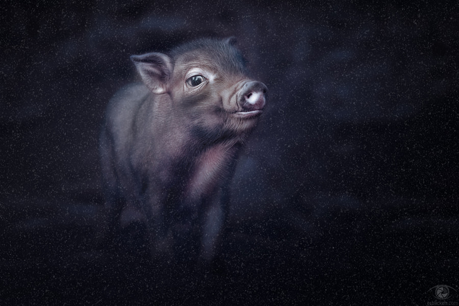 Photograph Lucky pig by Manuela Kulpa on 500px