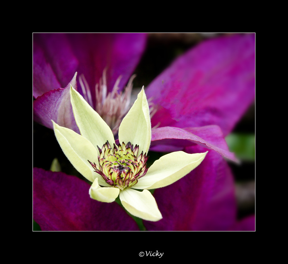 Photograph clematis by Vicky Dens on 500px