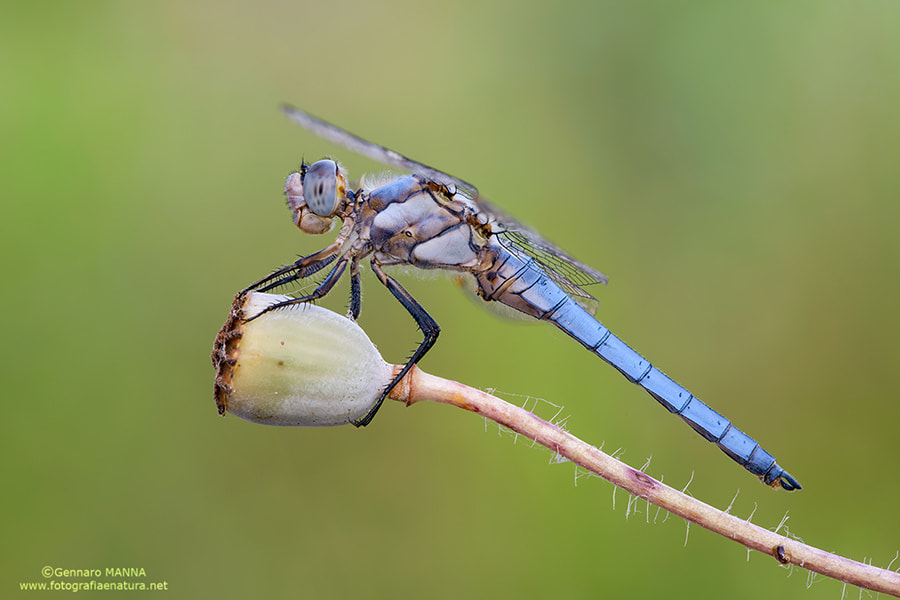 Photograph Orthetrum brunneum by Gennaro Manna on 500px