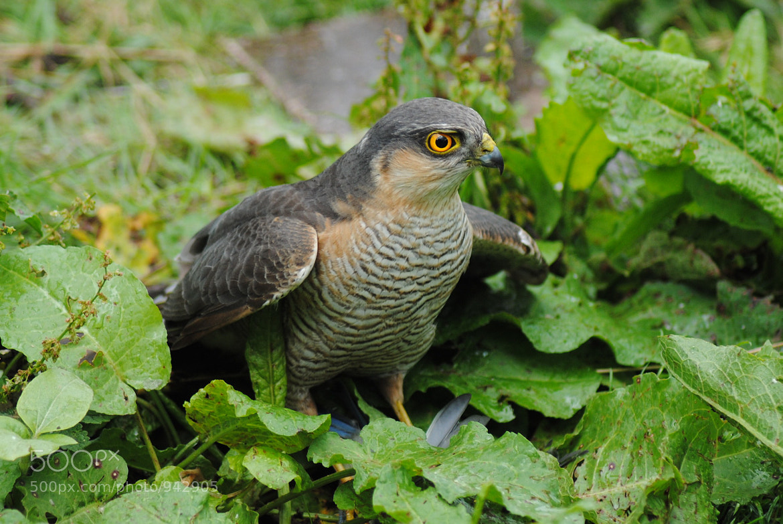 Photograph Sparrowhawk by Adam Johnstone on 500px