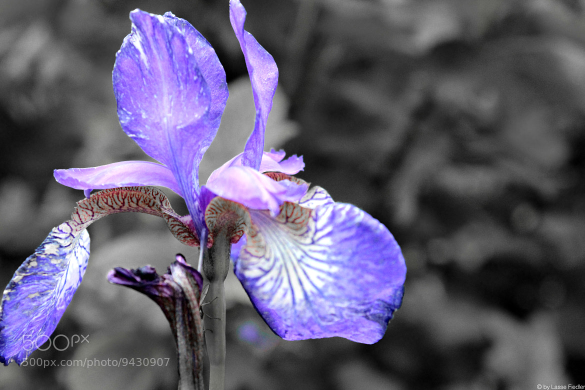 Photograph Violet Reduced by Lasse Fiedler on 500px