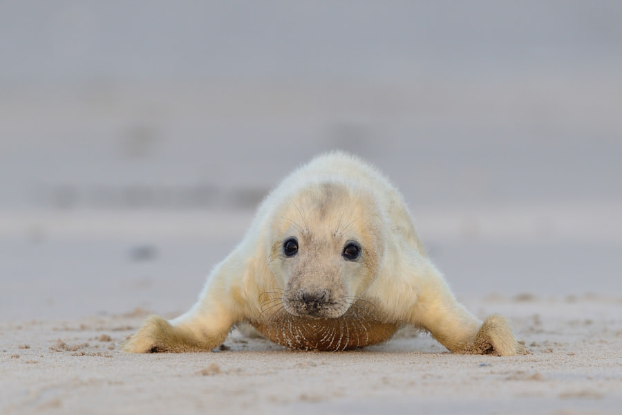 Gray Seal Baby by Elmar Weiss on 500px.com