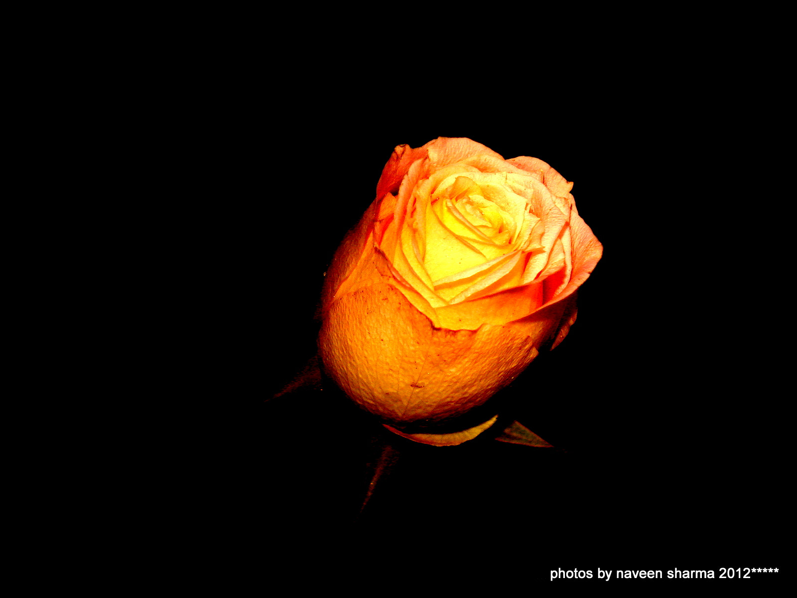 Photograph ROSE GLAMOUR by naveen sharma on 500px