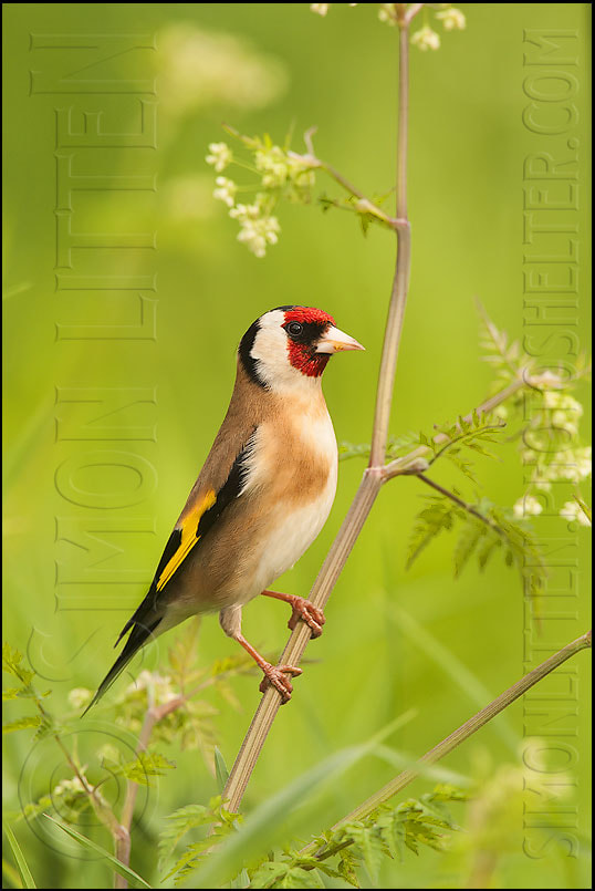 Photograph Goldfinch On Cow Parsley by Simon Litten on 500px