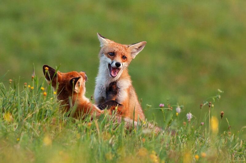 Photograph Fox fight by Jakub Mrocek on 500px
