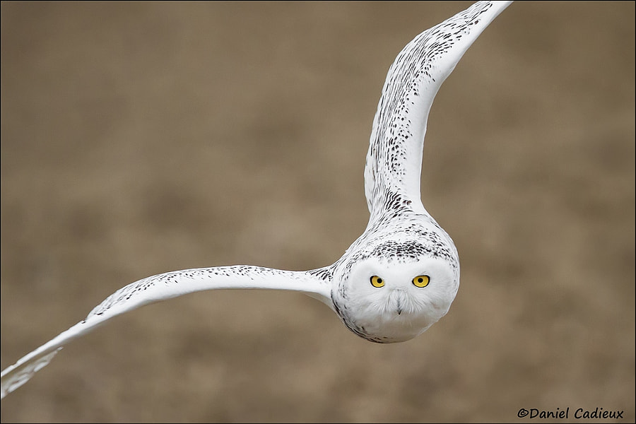New Year's Snowy Owl