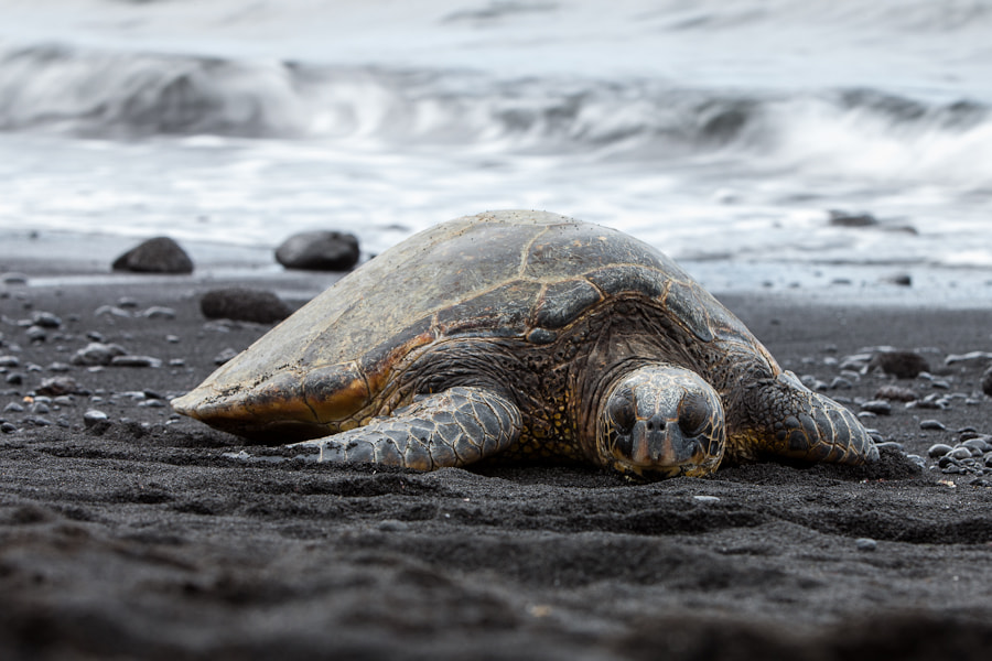 Photograph Black Sand - Green Turtle by Marco Schöfl on 500px