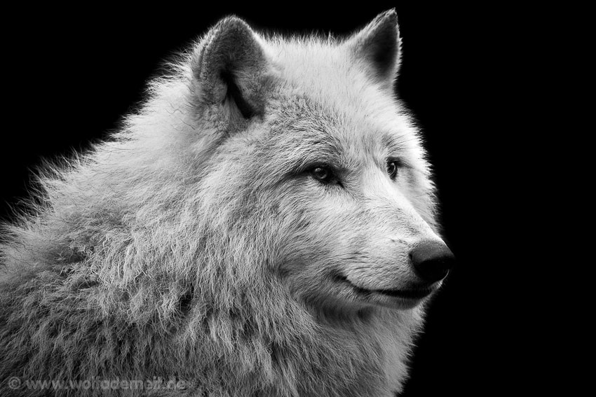 Photograph ARCTIC WOLF by Wolf Ademeit on 500px
