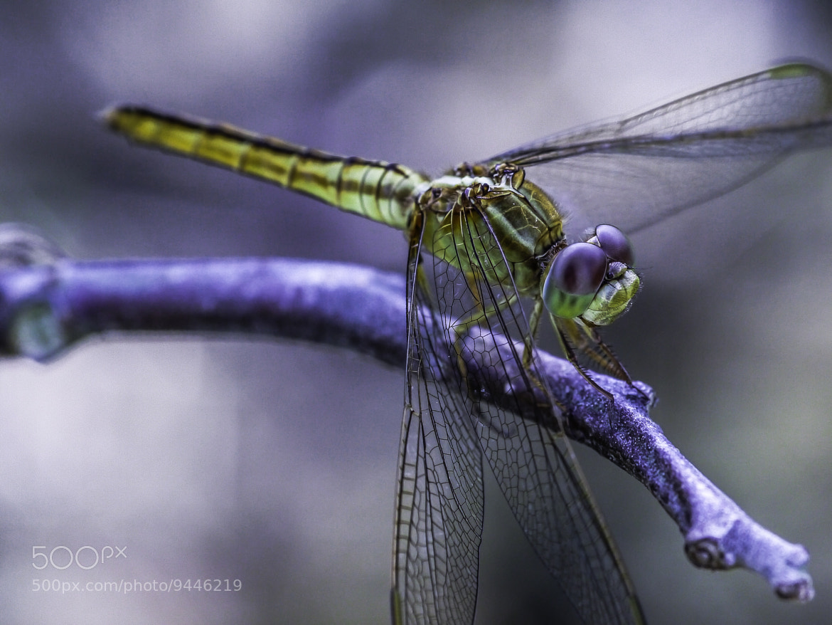 Photograph Resting dragonfly by Acura Ra on 500px