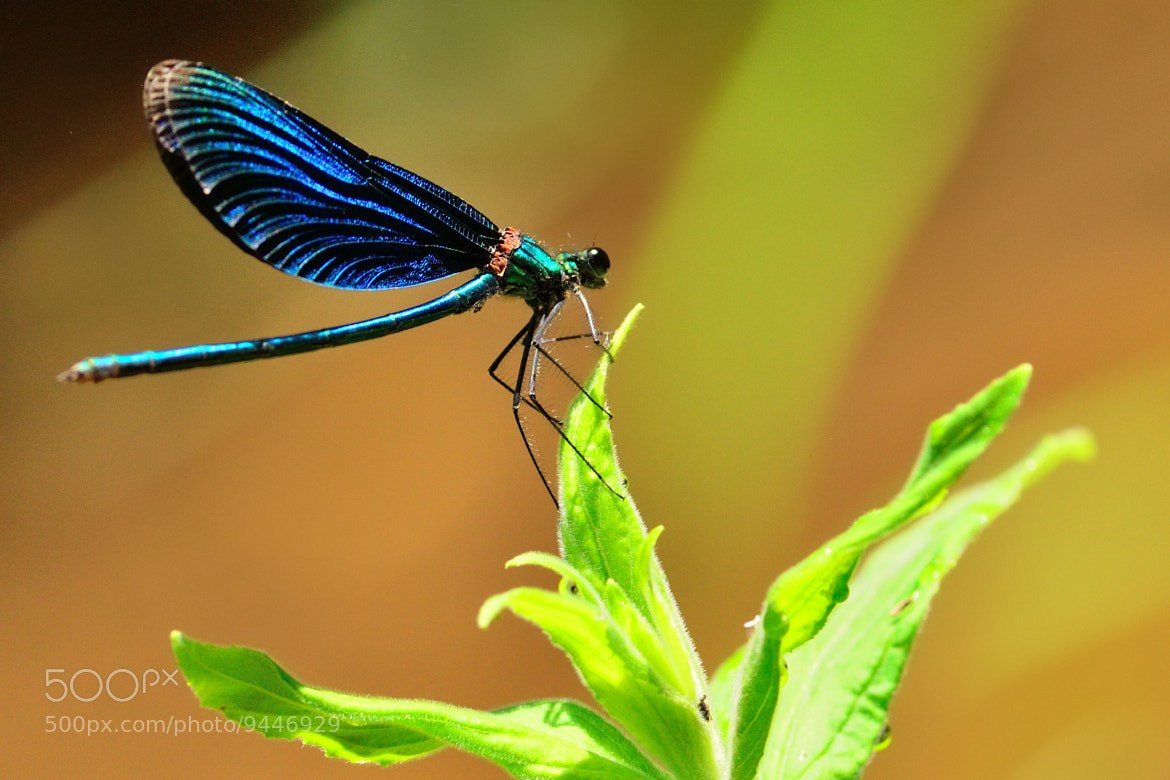 Photograph Blue DragonFly by Sabin Uivarosan on 500px