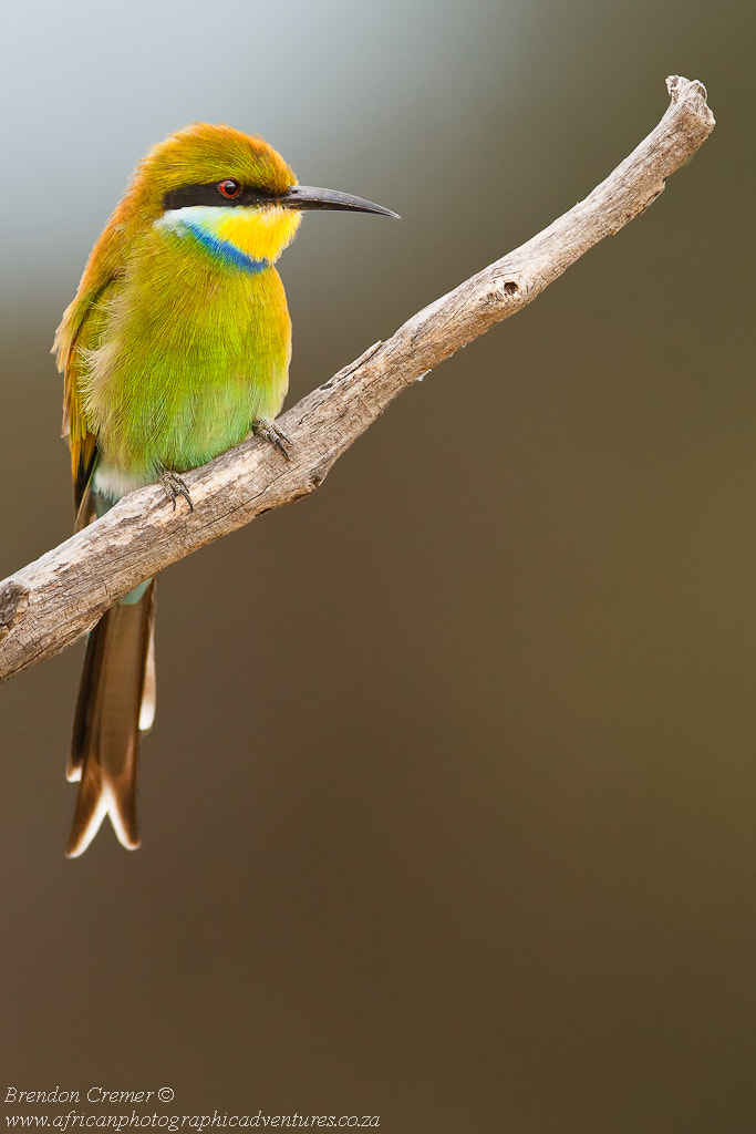 Photograph Swallow Tailed Bee-Eater by Brendon Cremer on 500px