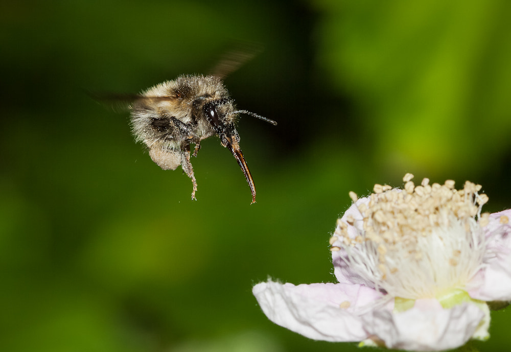 Photograph Busy bee by Frank Rønsholt on 500px