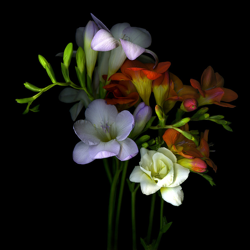 A FRESH START... THE FREESIAS