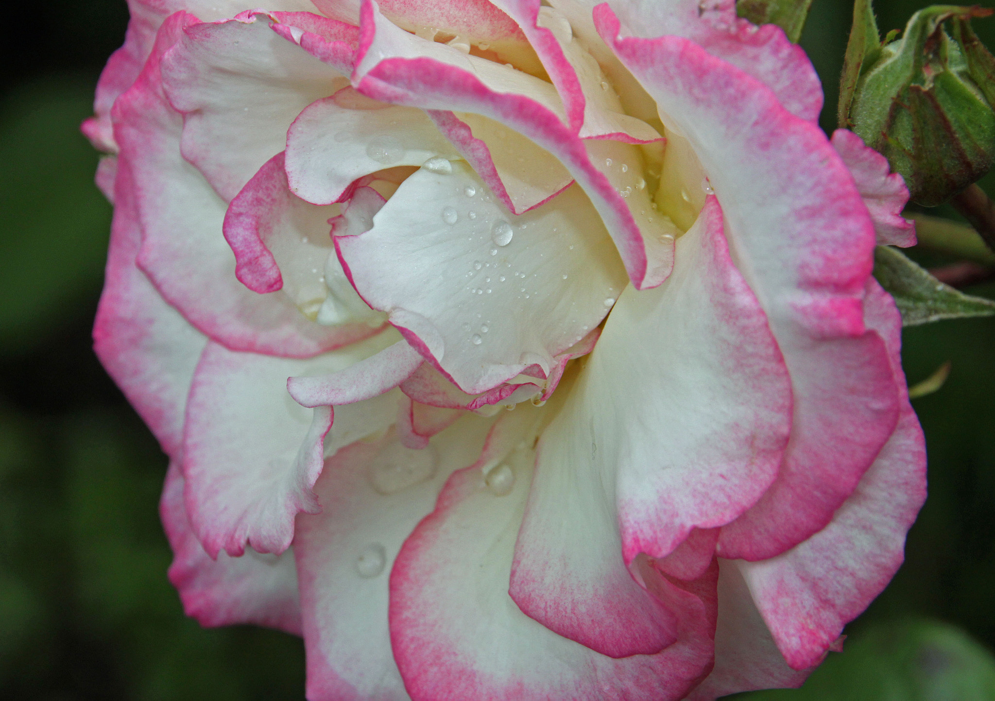 Photograph rose by Hilda Murray on 500px