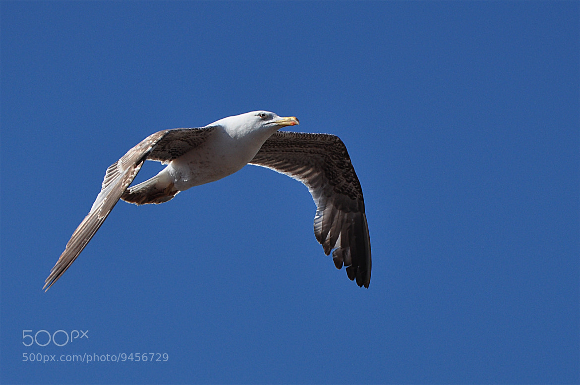 Photograph Seagull by Alluya Lillia on 500px