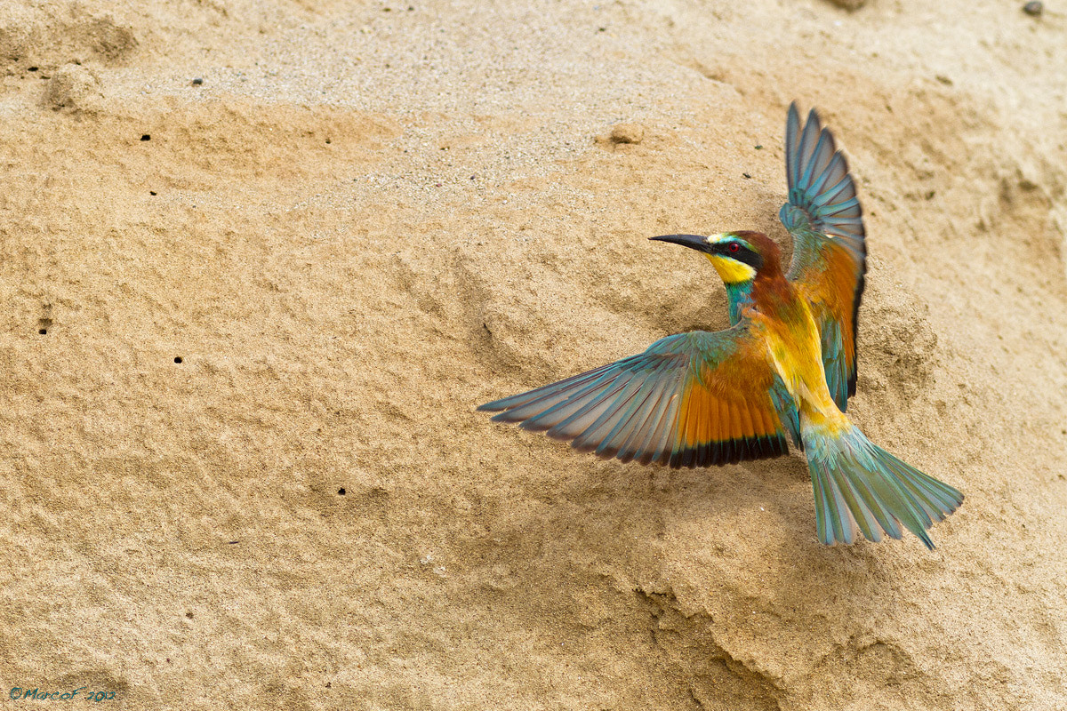 Photograph Merops apiaster by Marco Franzini on 500px