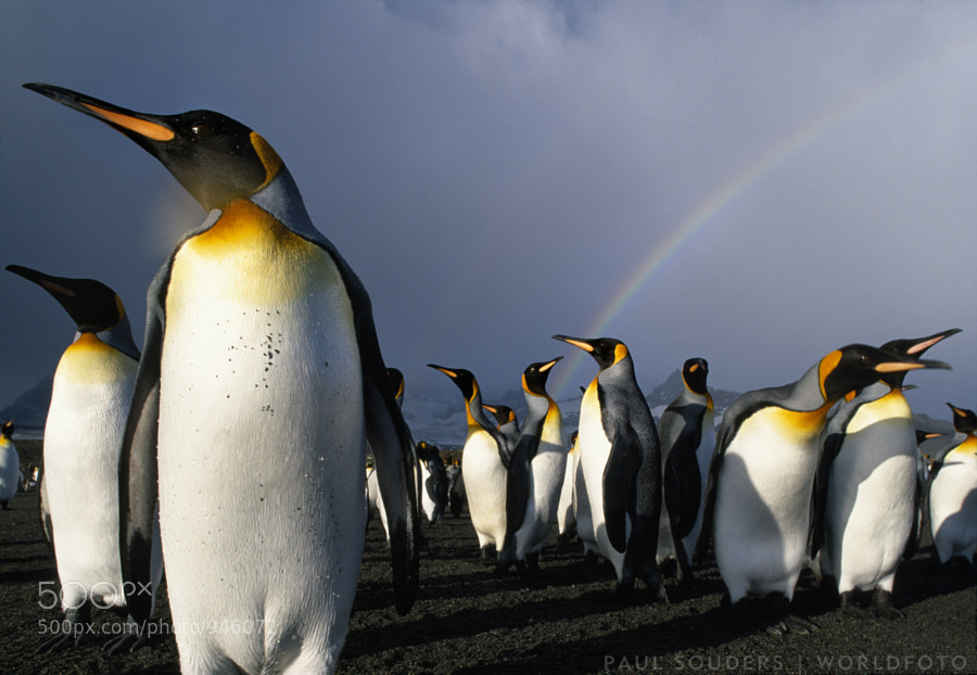 Photograph King Penguins by Paul Souders | WorldFoto on 500px