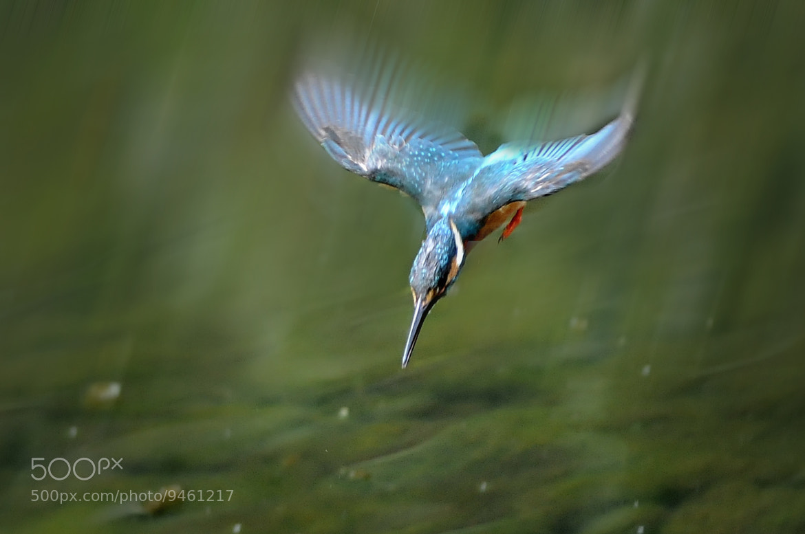 Photograph ★ Kingfisher diving by KEN OHSAWA on 500px