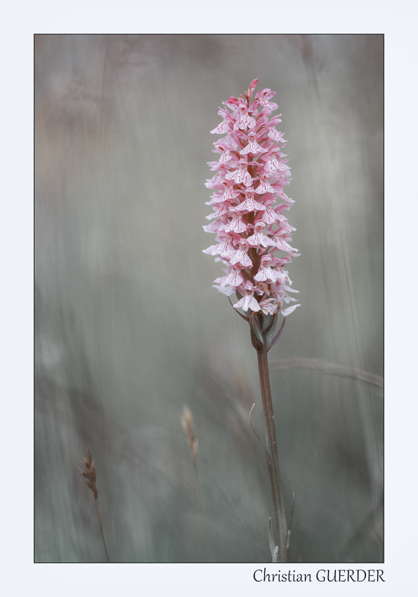 Photograph dactylorhiza maculata by CHRISTIAN GUERDER on 500px