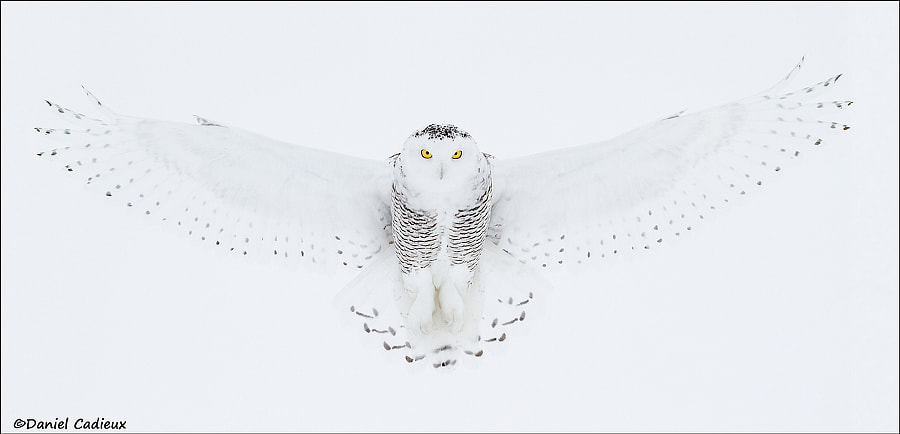 500px.comのDaniel CadieuxさんによるSnowy Owl Full Wingspread Pano