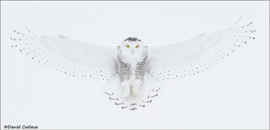 Snowy Owl Full Wingspread Pano