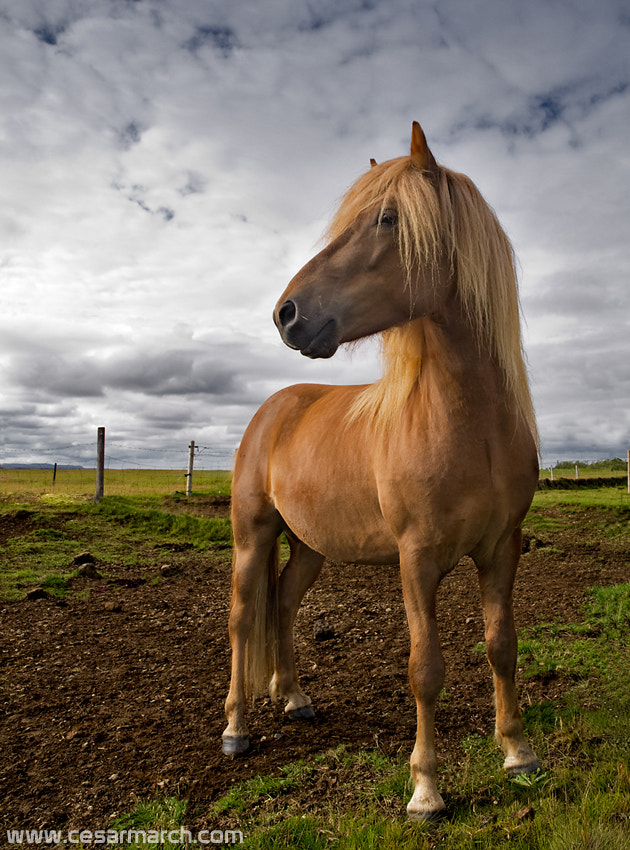 Photograph Icelandic horse by Cesar March on 500px