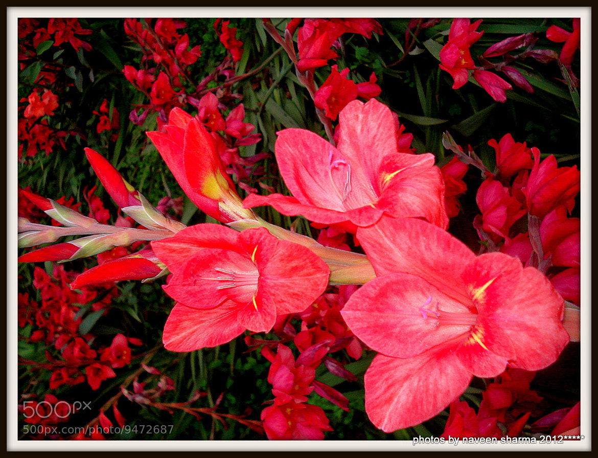 Photograph GLADIOLUS CULTIVATION by naveen sharma on 500px