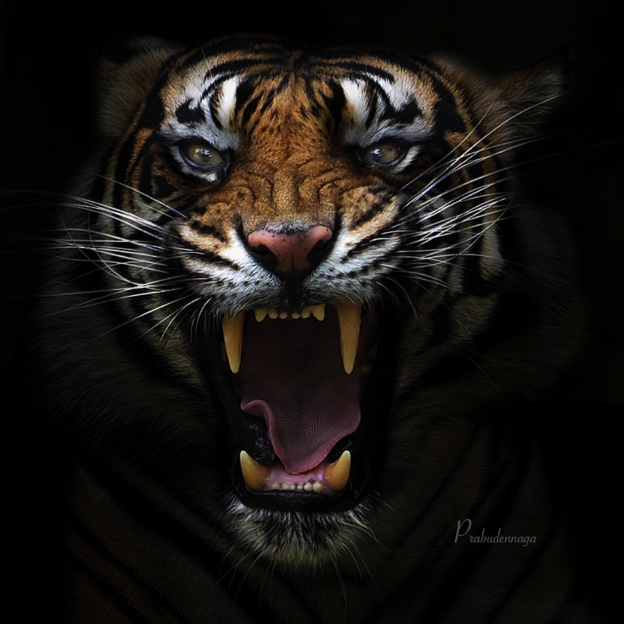 Tiger photography -Angry Tiger by Prabu dennaga on 500px.com
