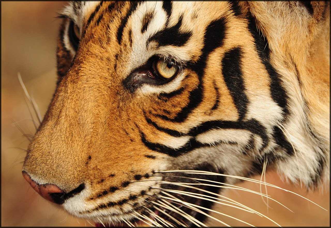 Photograph Close encounter with a big cat by Nishant Shah on 500px