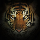 Постер, плакат: Portrait of Sumatran Tiger