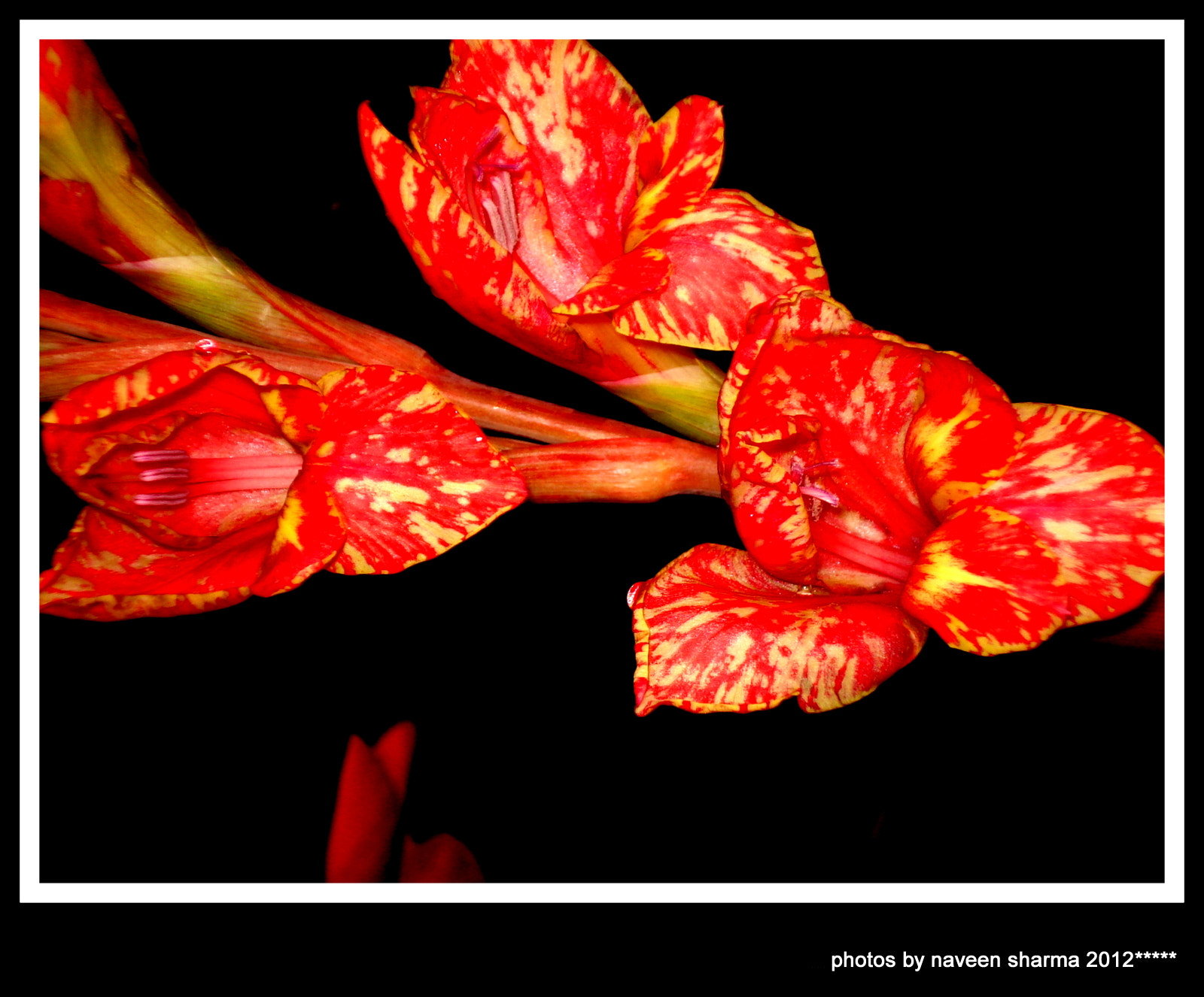 Photograph SPOTTED GLADIOLUS by naveen sharma on 500px