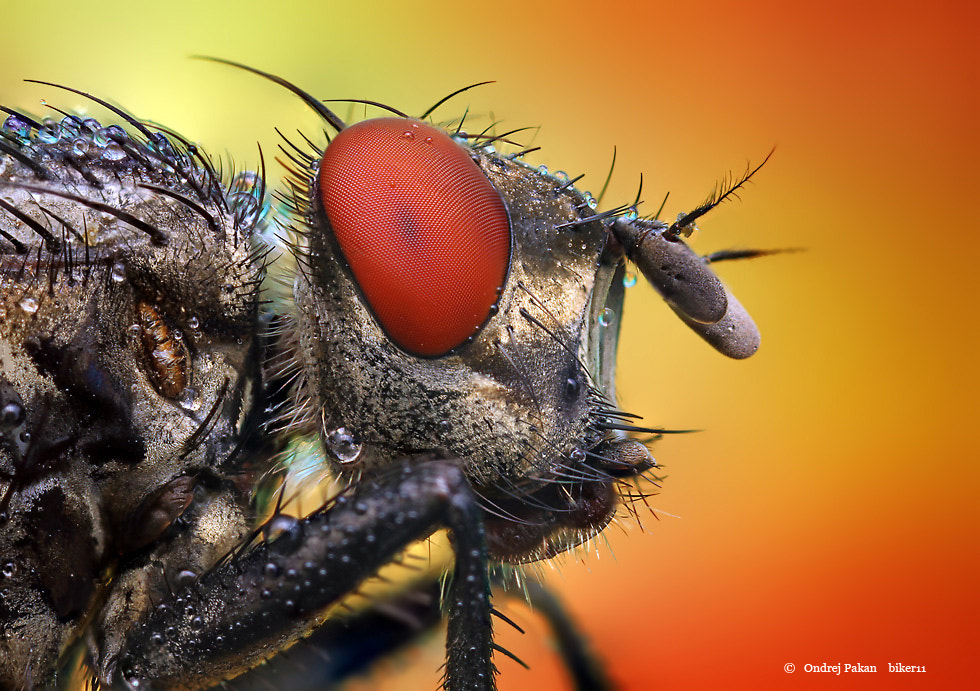 Photograph Red fly by Ondrej Pakan on 500px