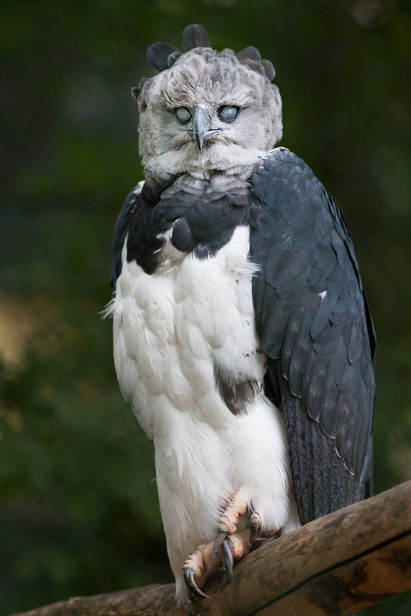 Scary Harpy by Johannes Wapelhorst on 500px.com