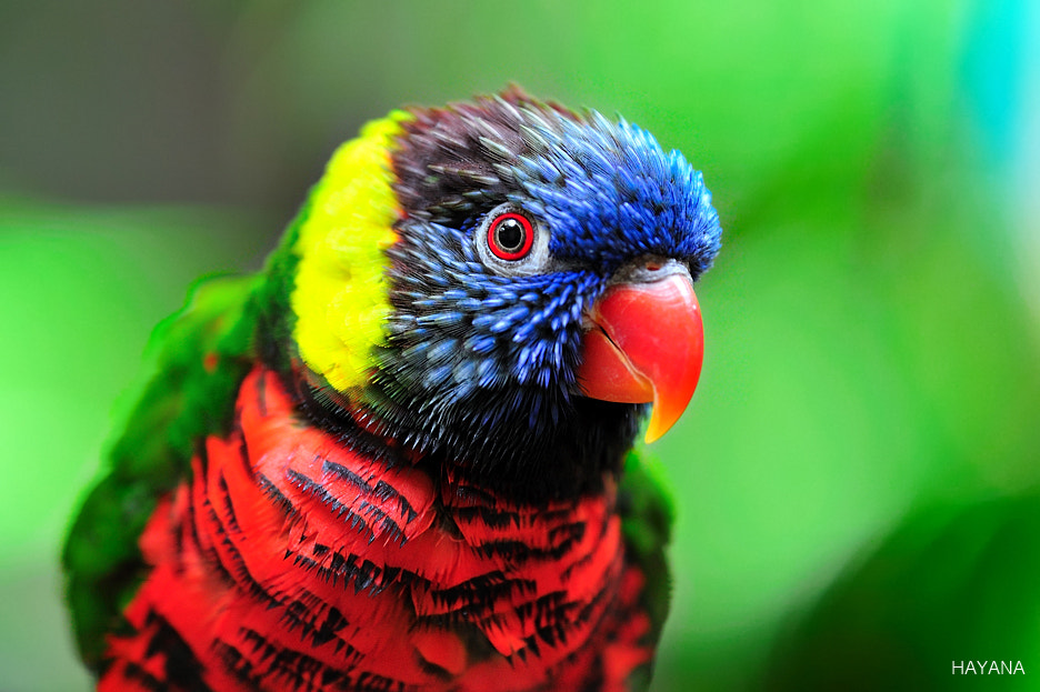 Photograph Rainbow Lorikeet by Ryu Jong soung on 500px