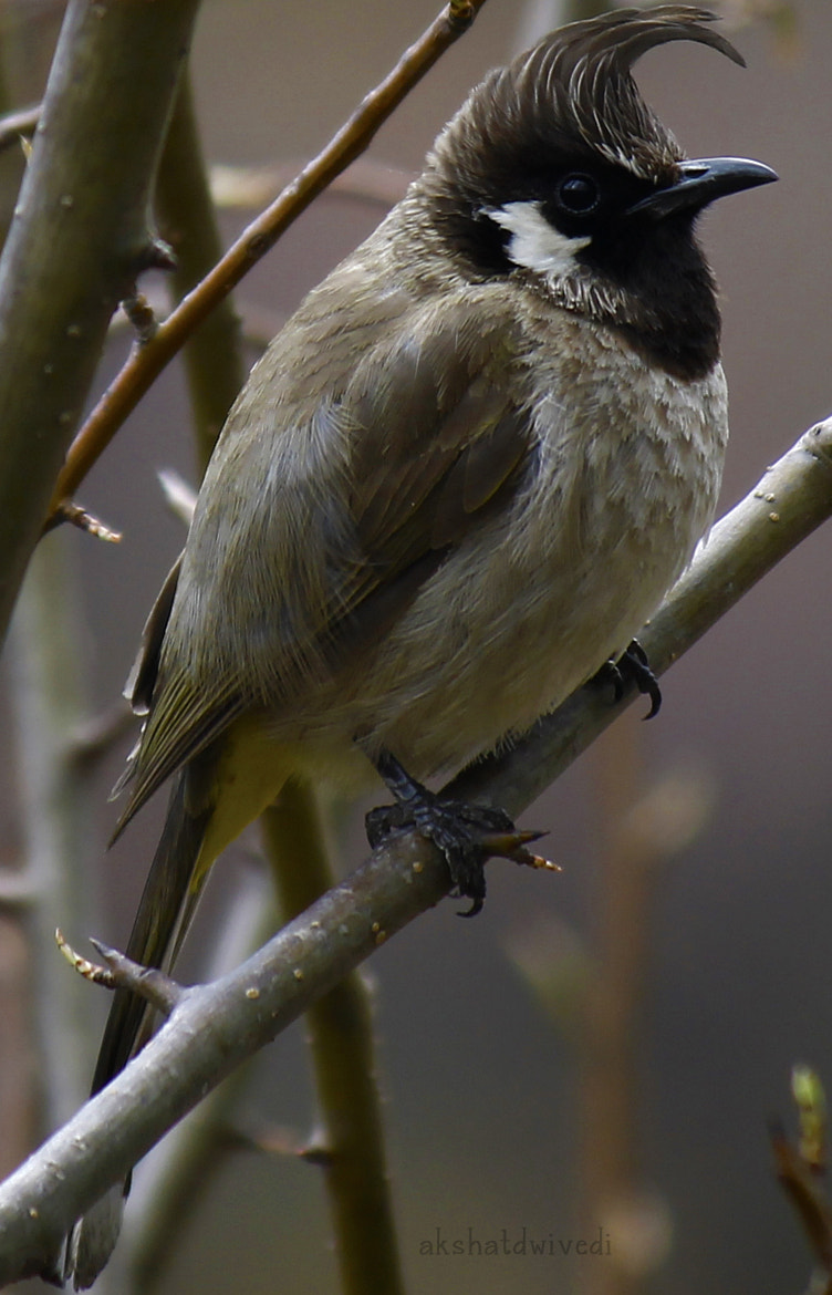 Photograph Himalayan Bulbul by akshat dwivedi on 500px