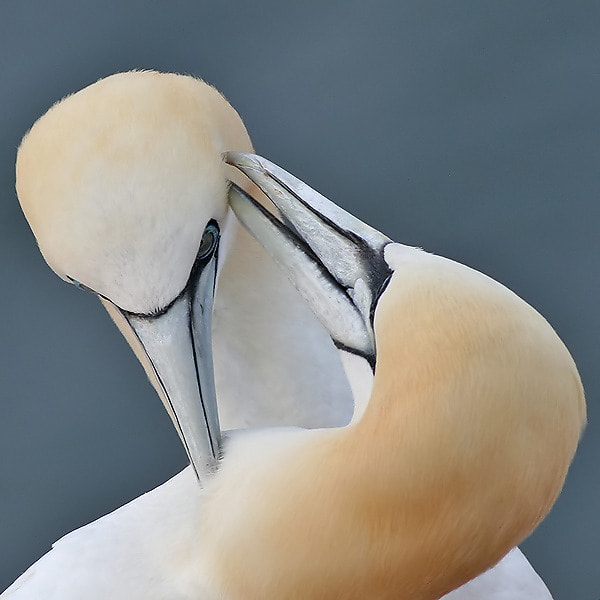Photograph Gannets in Love by Aat Bender on 500px