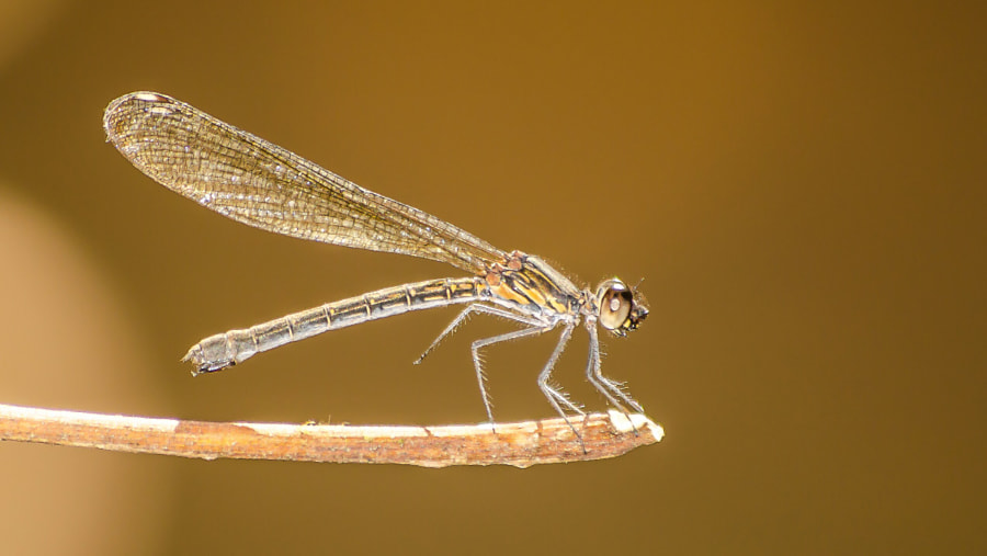 Marbal Ghost Dragonfly