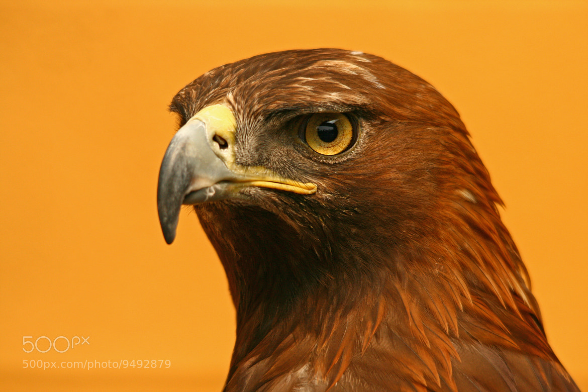 Photograph Golden Eagle by Jacqueline Bamber on 500px