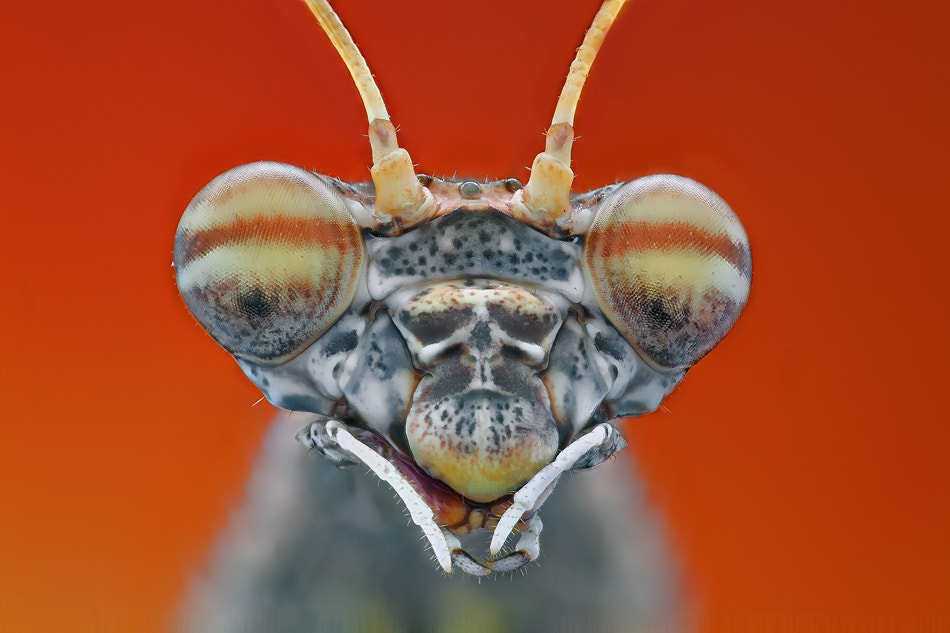 Photograph Portrait of mantis by Omid Golzar on 500px