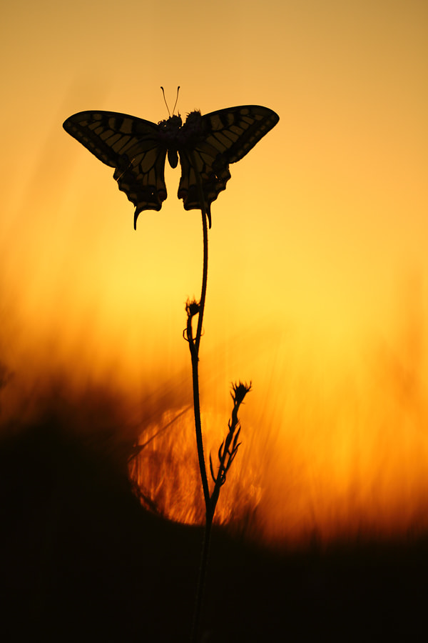 Photograph Old World swallowtail by Christian Rey on 500px