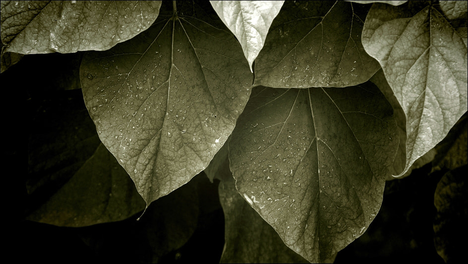 Photograph Catalpa by Charles ABESCAT on 500px