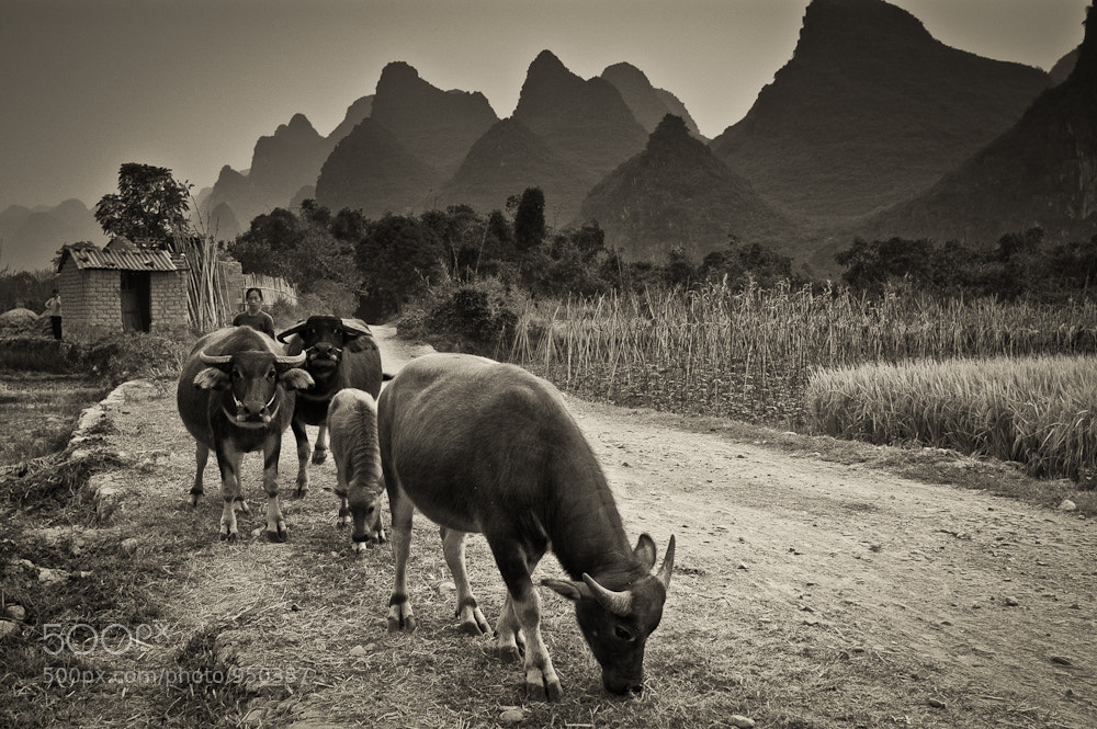 Photograph Water Buffalo by Mike Hollman on 500px