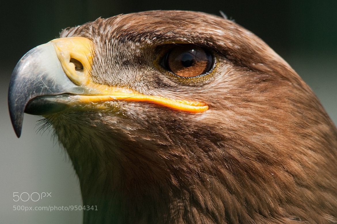 Photograph Eagle by Bert Aerts on 500px