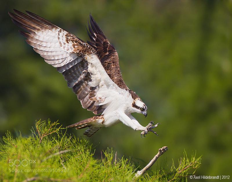 Photograph Landing Osprey by Axel Hildebrandt on 500px