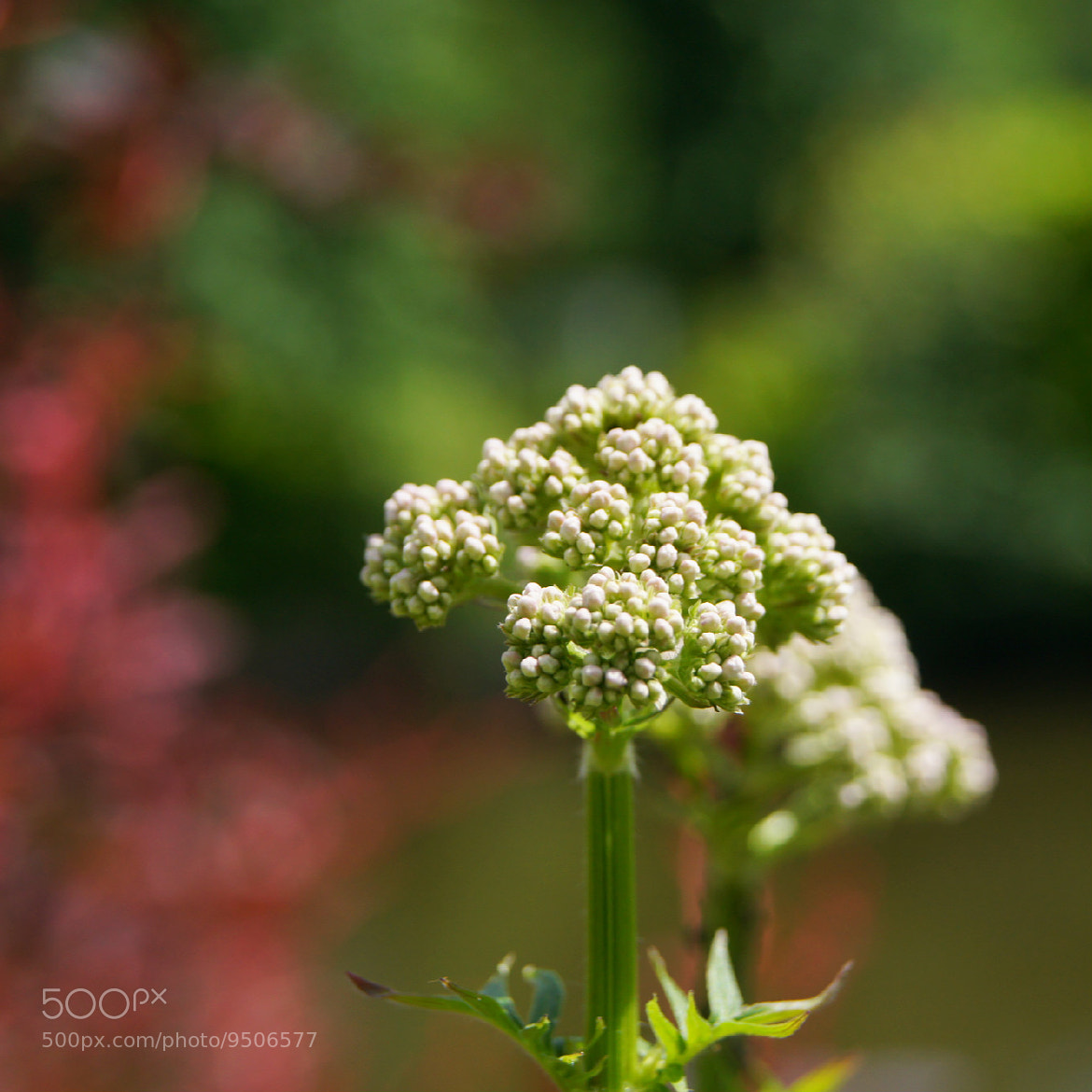 Photograph The Little White Buds by Adhib M on 500px
