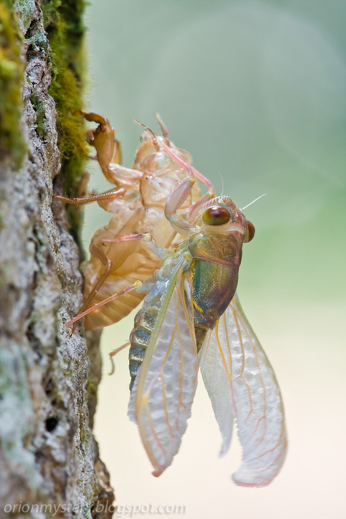 Photograph Cicada emergence by Kurt Orionmystery G on 500px