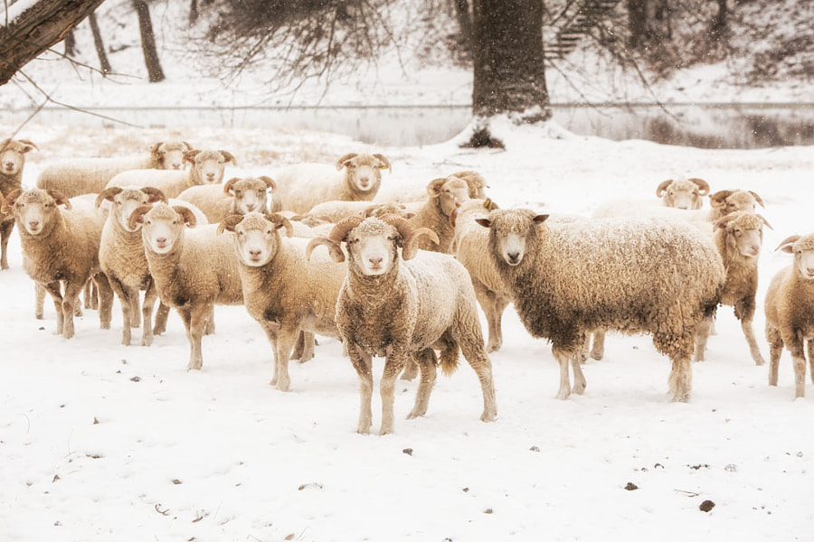 sheep herd in Lancaster Pennsylvania