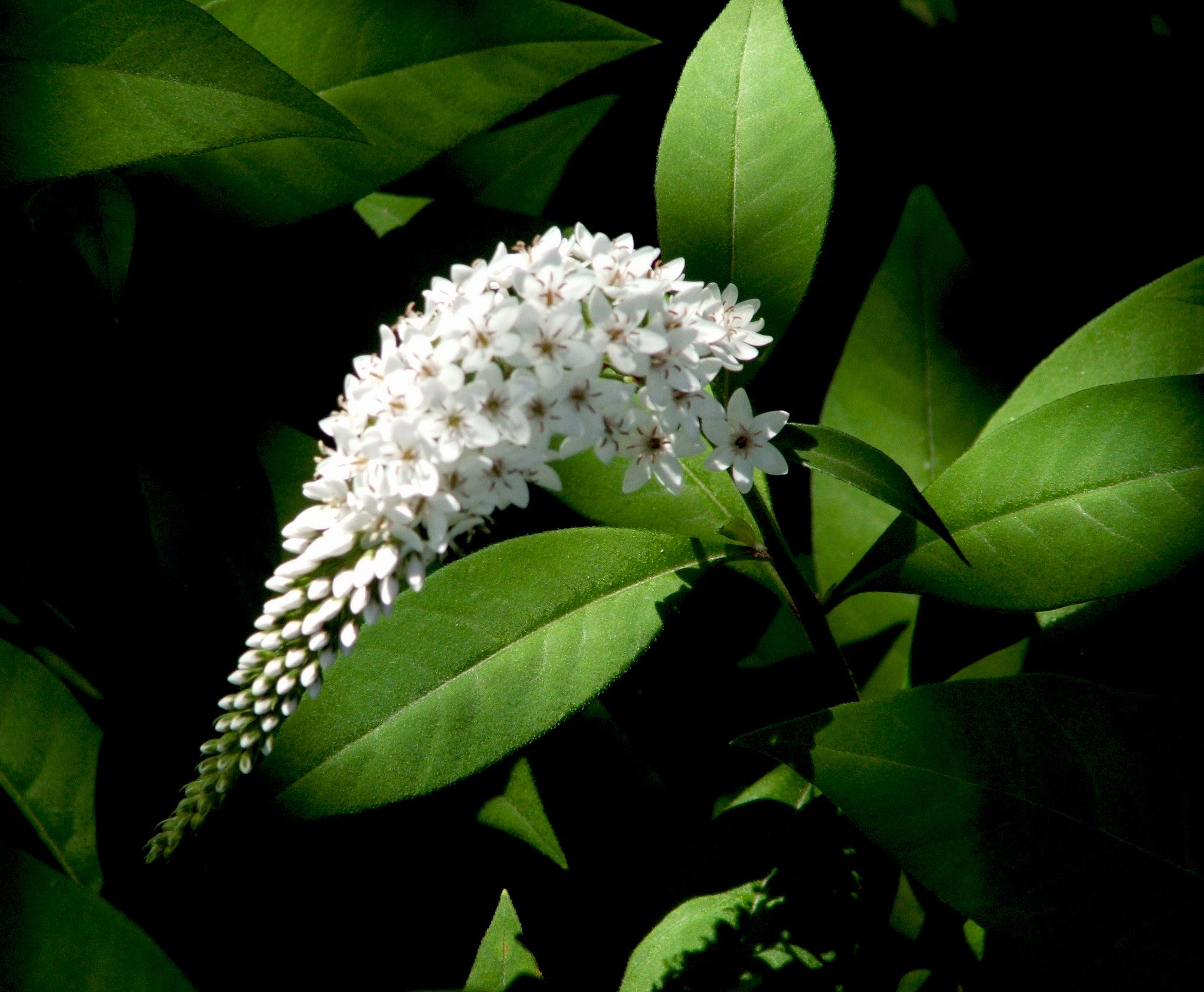 Photograph Gooseneck Loosestrife by Rebecca Chase on 500px